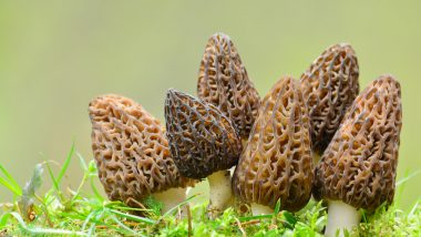 growing morel mushrooms