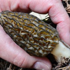 how to find morel mushrooms