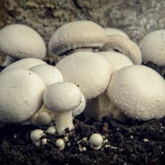 Sprouted Mushrooms